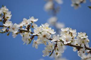Apple_blossoms-12